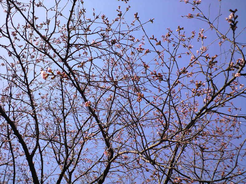 もう桜が!